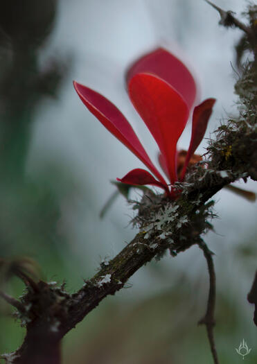 photopsia beautiful red leaved plant